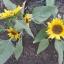 ทานตะวันอเมริกันต้นเตี้ย - Dwarf American Sunflower thumbnail 2