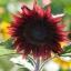 เมล็ดทานตะวันดอก สีเเดง ProCut Red บรรจุ 20 เมล็ด thumbnail 1