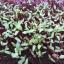 เมล็ดบีทรูท beetroot microgreen 6 กรัม thumbnail 2