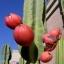 แอปเปิลเปรูเวียนสีแดง - Red Peruvian Apple thumbnail 1