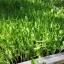 เมล็ดโต้เหมี่ยว โต้เหมี่ยว โต้วเหมี่ยว ถั่วลันเตาเมล็ดเหลือง Yellow Pea foe sprout thumbnail 5