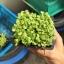 เมล็ดเรดสลัดโบลว์ (Red Salad Bowl Lettuce) thumbnail 8