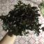 เมล็ดเรดสลัดโบลว์ (Red Salad Bowl Lettuce) thumbnail 4