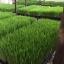 ต้นอ่อนข้าวสาลี ต้นอ่อนข้าวสาลีตัดสด Wheatgrass 1 Kg. thumbnail 15