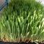 ข้าวบาร์เลย์ ข้าวบาร์เล่ Barley seed for sprout Barley grass seed thumbnail 3