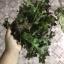 เมล็ดเรดสลัดโบลว์ (Red Salad Bowl Lettuce) thumbnail 5