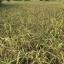 ข้าวไรซ์เบอรี่ (Organic Ricebrry) บรรจุ 1 กิโล thumbnail 8