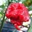 พริกแคโรไลน่ารีพเปอร์ - Carolina Reaper Pepper (เผ็ดที่สุดในโลก) thumbnail 1