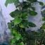 ต้นหม่อนทานผล (สายพันธุ์นำเข้า) - Mulberry thumbnail 2