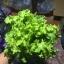 เมล็ดกรีนสลัดโบลว์ (Green Salad Bowl Lettuce) thumbnail 1