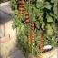 มะเขือเทศราพันเซล F1 - Rapunzel Tomato F1 thumbnail 3