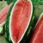 แตงโมคองโก - Congo Watermelon thumbnail 1