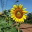 เมล็ดทานตะวันปลูกดูดอก 1kg., เมล็ดพันธุ์ดอกทานตะวัน thumbnail 4