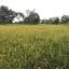 ข้าวไรซ์เบอรี่ (Organic Ricebrry) บรรจุ 1 กิโล thumbnail 3