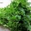 วอเตอร์เครส - Watercress (Nasturtium officinale) thumbnail 2