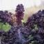 เคลลาซินาโต้เรนโบว์ - Lacinato Rainbow Kale thumbnail 3