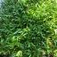 เมล็ดผักบุ้ง ต้นอ่อนผักบุ้ง เมล็ดผักบุ้งต้นอ่อน morning glory sprout thumbnail 6