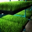 ต้นอ่อนข้าวสาลี ต้นอ่อนข้าวสาลีตัดสด Wheatgrass 1 Kg. thumbnail 8