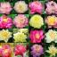 ดอกบัวหลวงคละสี - Mixed bowl Lotus thumbnail 1