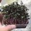 Red cabbage microgreens เมล็ดกะหล่ำปลีม่วง thumbnail 5
