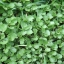 วอเตอร์เครส - Watercress (Nasturtium officinale) thumbnail 1