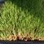ข้าวบาร์เลย์ ข้าวบาร์เล่ Barley seed for sprout Barley grass seed thumbnail 4