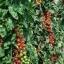 มะเขือเทศราพันเซล F1 - Rapunzel Tomato F1 thumbnail 2