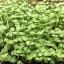Basil Micro-Greens อิตาเลี่ยนเบซิล โหระพาฝรั่ง thumbnail 4