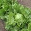 ผักกาดแก้ว - Iceberg Lettuce thumbnail 1