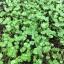 Basil Micro-Greens อิตาเลี่ยนเบซิล โหระพาฝรั่ง thumbnail 6