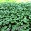 Basil Micro-Greens อิตาเลี่ยนเบซิล โหระพาฝรั่ง thumbnail 5