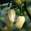 พริกฮาบาเนโร่สีขาว - White Habanero Pepper thumbnail 1