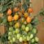มะเขือเทศแอปริคอตดรีม F1 - Apricot Dream F1 Tomato (หวานมาก 11.5 Brix) thumbnail 1