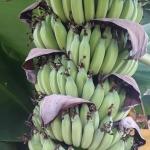 กล้วยน้ำว้ามะลิอ่อง