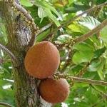 Mamey Sapote variety Akil Graft - ต้นละมุดยักษ์เสียบยอด สายพันธุ์ Akil