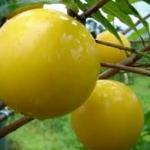 Abiu variety Round Graft - ต้นอะบียูเสียบยอดสายพันธุ์ Round