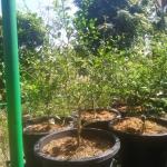 Finger lime - มะนาวคาเวียร์ ต้นแม่พันธุ์ ขนาดกลาง