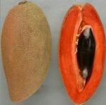 Mamey Sapote variety Magana Graft - ต้นละมุดยักษ์เสียบยอดสายพันธุ์ Magana