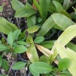 ปาล์มบังสูรย์ (Johannesteijsmannia altifrons)