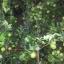 มะนาวแป้นศรีนาวา thumbnail 1