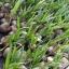 มะพร้าวน้ำหอม (สามพราน) thumbnail 1