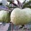 ฝรั่งสายน้ำผึ้ง thumbnail 1