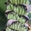 กล้วยน้ำว้ามะลิอ่อง thumbnail 1