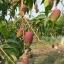 มะม่วงยู่เหวิน (แดงจักรพรรดิ์) thumbnail 2