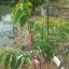พันธุ์น้อยหน่า ฝ้ายเขียวเกษตร 2 (จากสถานี วิจัยพืชสวน ปากช่อง) thumbnail 2