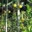 มะขามป้อมอินเดีย เบอร์ 1 thumbnail 1