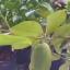 มะนาวเลมอน thumbnail 1
