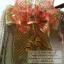รับทำโบว์ติดกระเช้า,โบว์ติดของชำร่วย,โบว์ของขวัญ,โบว์รางวัล,โบว์ประกวด,โบว์ติดรางวัล thumbnail 62