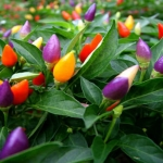 Ornamental Pepper (พริกประดับ)