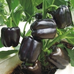 Purple Sweet Pepper